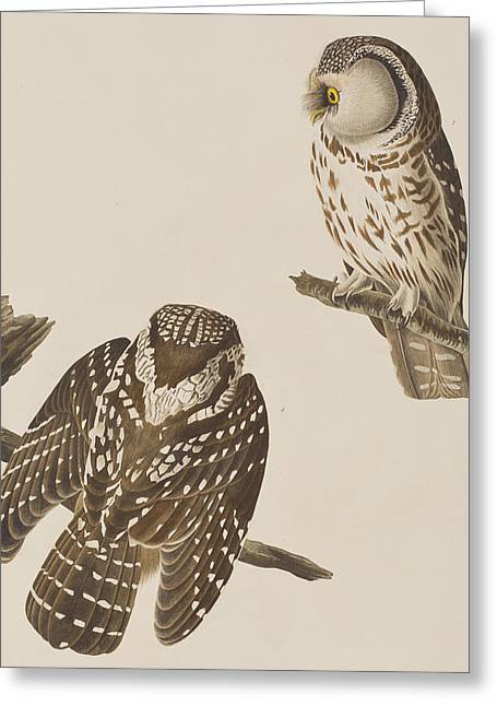 Tengmalm's Owl Greeting Card by John James Audubon