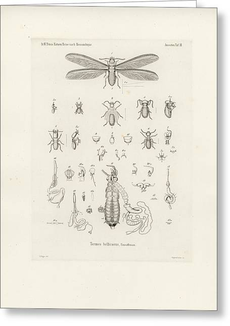 Termites, Macrotermes Bellicosus Greeting Card