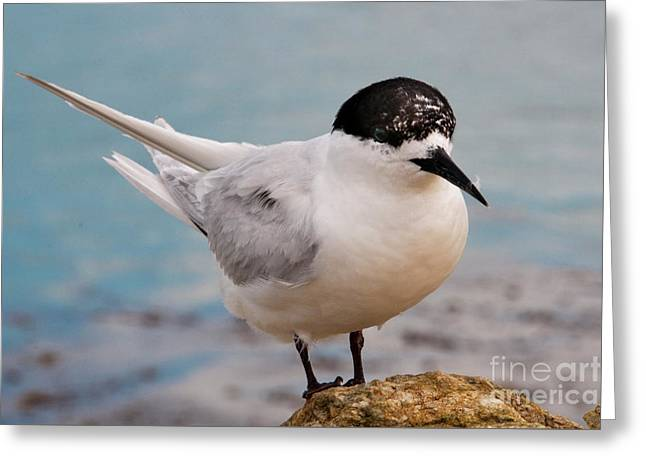 Greeting Card featuring the photograph Tern 1 by Werner Padarin
