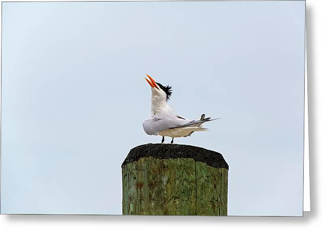 Tern Greeting Card by Amy Jackson
