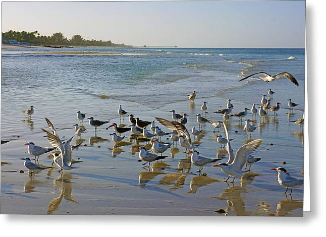 Terns And Seagulls On The Beach In Naples, Fl Greeting Card by Robb Stan