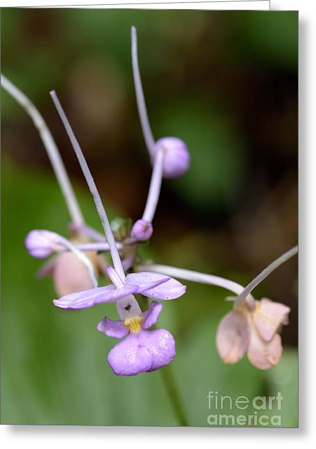 Terrestrial Orchid In Flower Greeting Card by Fletcher & Baylis