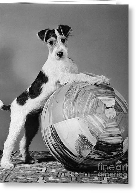 Terrier In Playful Pose, C.1940s Greeting Card by H. Armstrong Roberts/ClassicStock