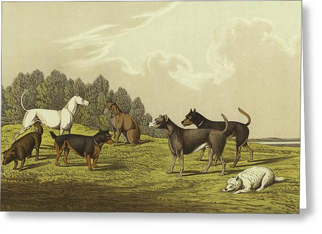 Terriers Greeting Card by Henry Thomas Alken