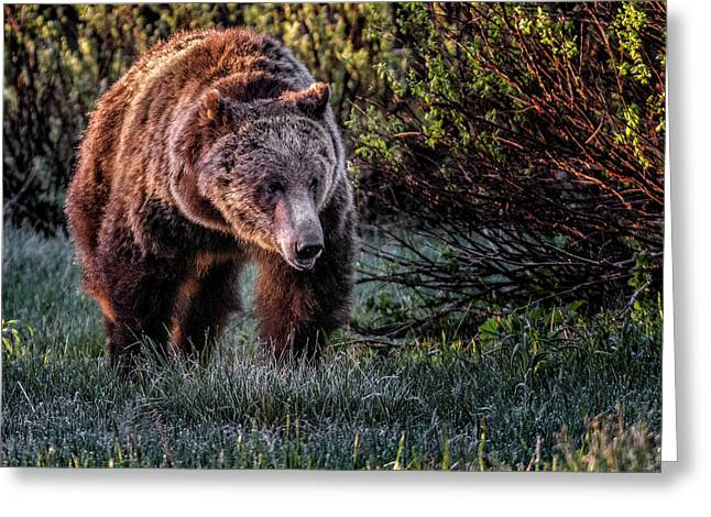 Teton Grizzly Greeting Card