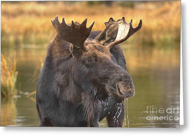 Moose Smile Greeting Card by Adam Jewell