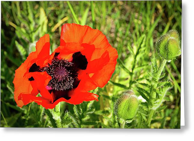 Greeting Card featuring the photograph Teton Poppy by Greg Norrell