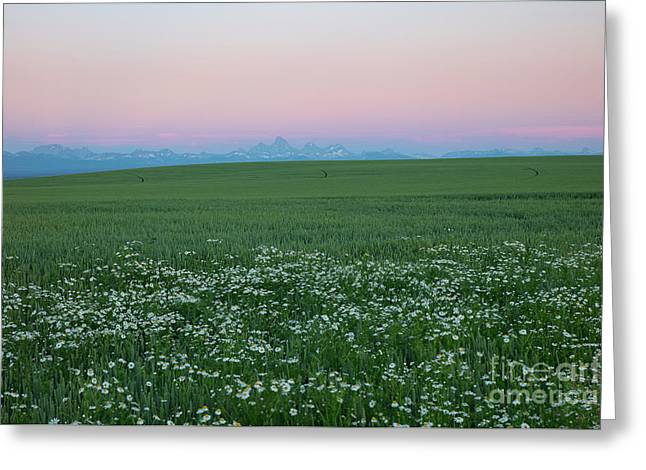 Tetons With Daisies Greeting Card
