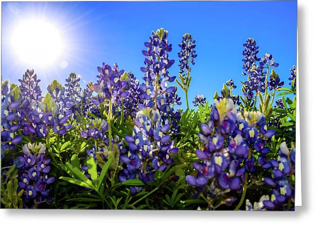 Texas Bluebonnets Backlit II Greeting Card by Greg Reed