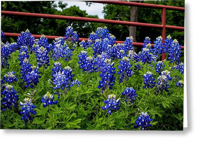Texas Bluebonnets In Ennis Greeting Card