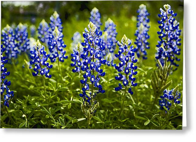 Texas Bluebonnets Greeting Card