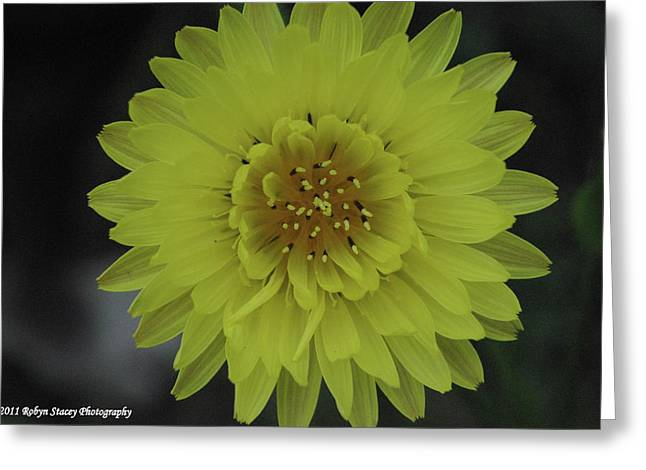 Texas Dandelion Greeting Card by Robyn Stacey
