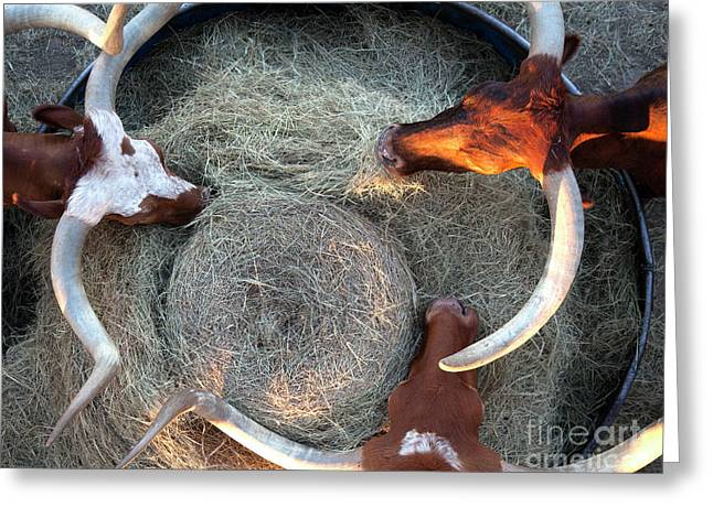 Texas Longhorn Cattle, Ft. Worth Stockyards Greeting Card by Greg Kopriva