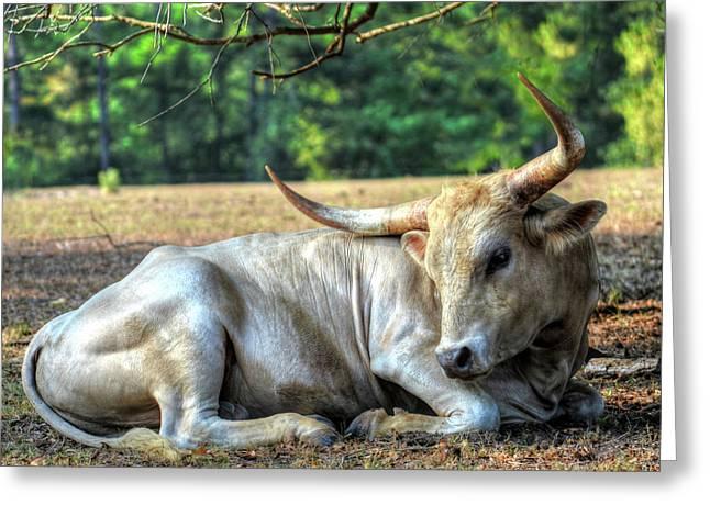 Texas Longhorn Gentle Giant Greeting Card