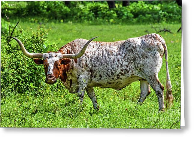 Texas Longhorn Greeting Card by Ray Shrewsberry