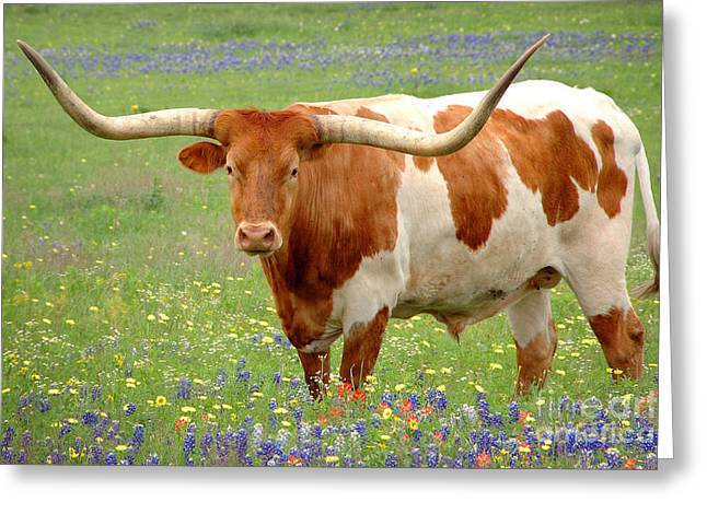 Wild Flower Greeting Cards - Texas Longhorn Standing in Bluebonnets Greeting Card by Jon Holiday