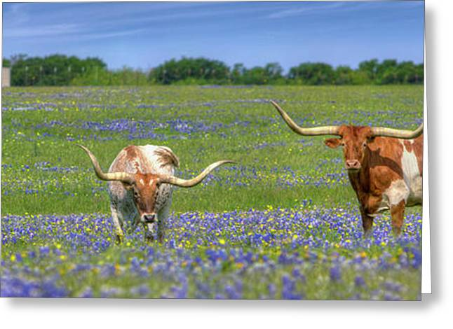 Texas Longhorns In Bluebonnets Panorama Greeting Card by Rob Greebon