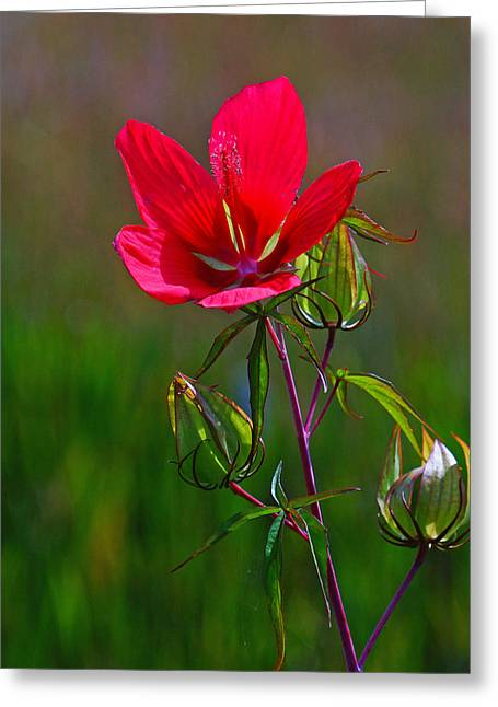 Texas Star Hibiscus Greeting Card