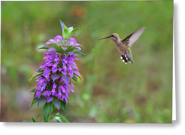 Texas Wildflowers - Horsemint And Hummingbirds Greeting Card by Rob Greebon
