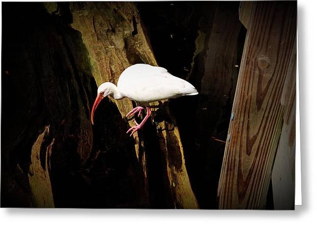 Texture Drama White Ibis Bird Greeting Card