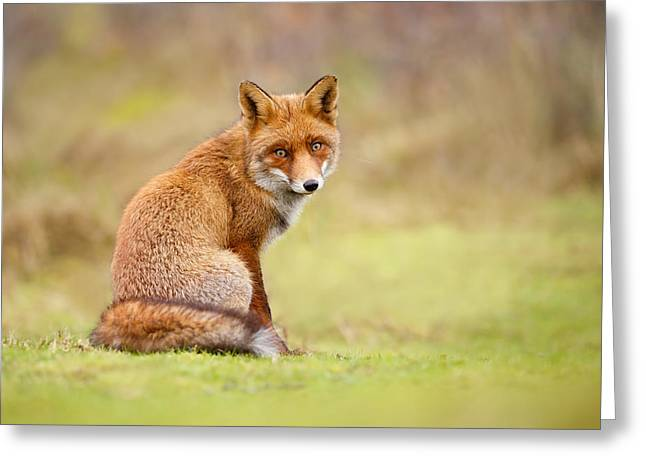 That Look - Red Fox Male Greeting Card by Roeselien Raimond