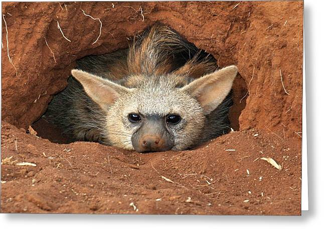 The Aardwolf Greeting Card by Phil Stone