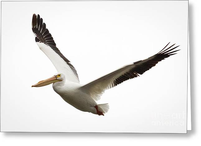 The Amazing American White Pelican Greeting Card by Ricky L Jones