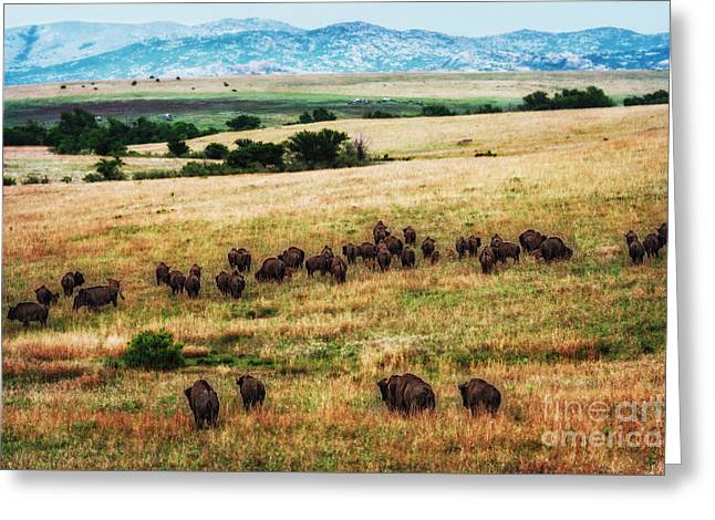 The American Bison Herd Greeting Card