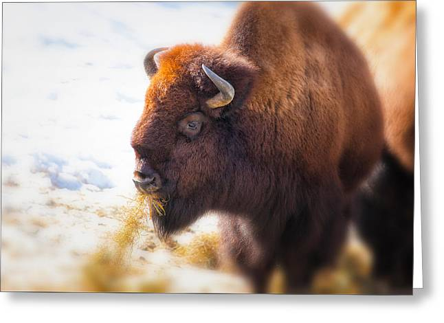The American Bison Greeting Card by Karol Livote