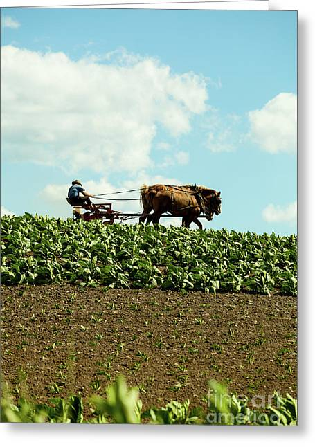 The Amish Farmer With Horses In Tobacco Field Greeting Card