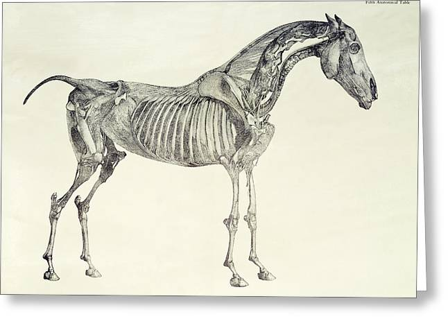 Biology Drawings Greeting Cards - The Anatomy of the Horse Greeting Card by George Stubbs