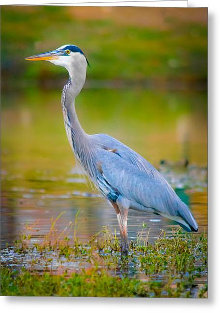 The Beauty Of A Great Blue Heron Greeting Card