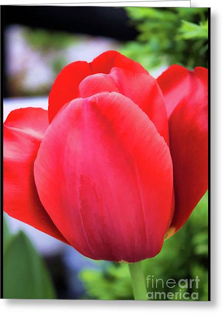 The Tulip Beauty Greeting Card
