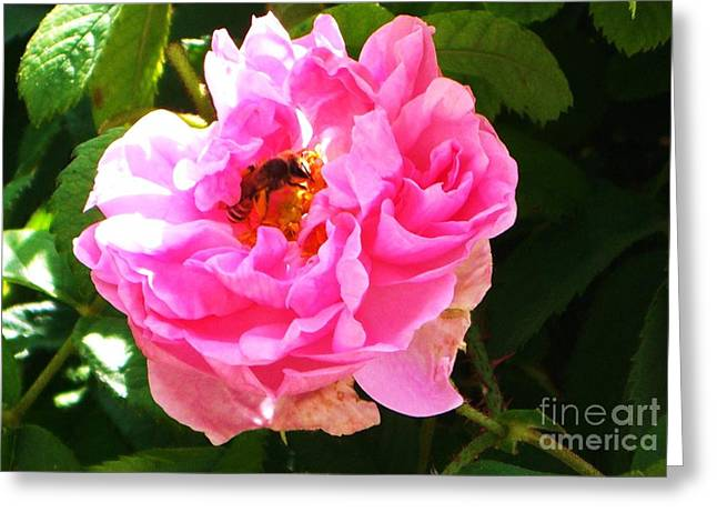 The Bee In The Rose Greeting Card by Sunaina Serna Ahluwalia