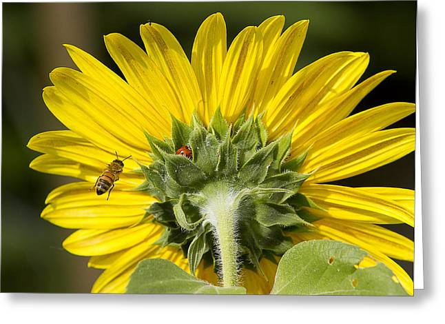 The Bee Lady Bug And Sunflower Greeting Card