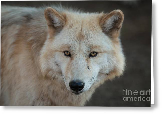 The Big Beautiful Wolf Greeting Card