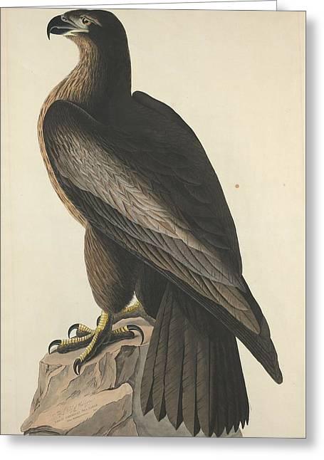 The Bird Of Washington Or Great American Eagle Greeting Card