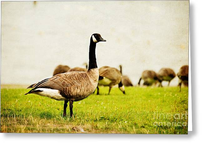 The Black Canada Goose Greeting Card by MaryJane Armstrong