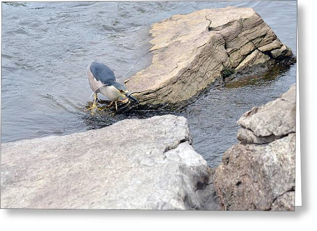 The Black-crowned Night-heron With His Catch Greeting Card by Asbed Iskedjian