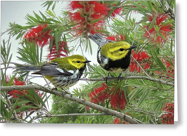 The Black-throated Green Warbler Greeting Card by Matthew Schwart