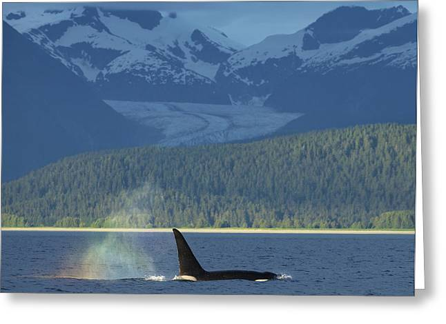 The  Blow  Of A Male Orca Whale Catches Greeting Card by John Hyde