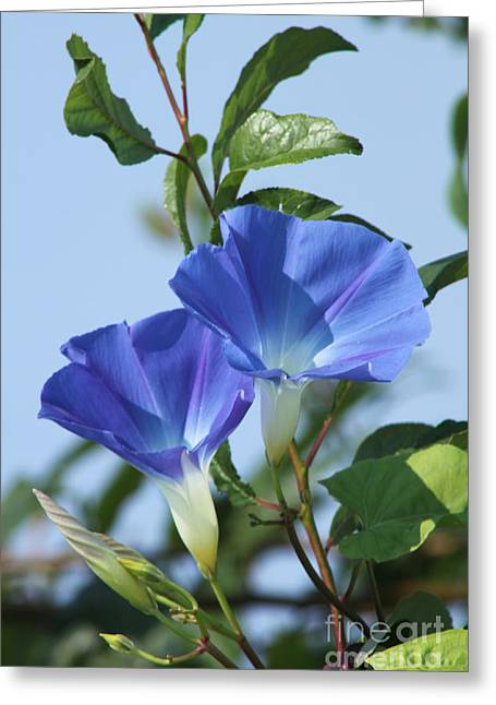 The Blue Morning Glory Greeting Card by Cathy  Beharriell