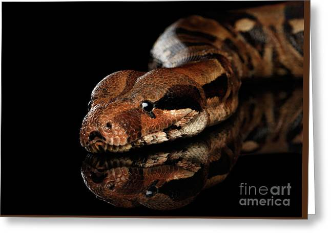 The Boa Constrictors, Isolated On Black Background Greeting Card