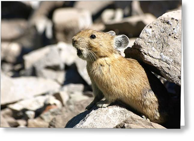 The Call Of The Pika Greeting Card