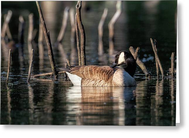 The Canada Goose Square Greeting Card