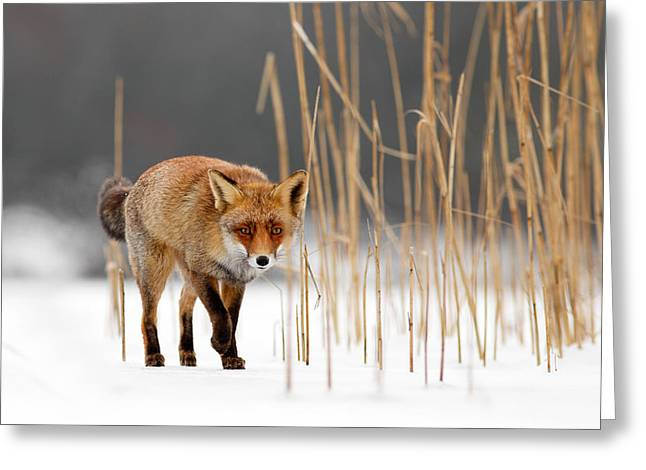 The Catcher In The Reed - Red Fox Walking On Ice Greeting Card by Roeselien Raimond