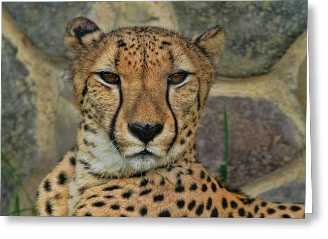 The Cheetah Greeting Card