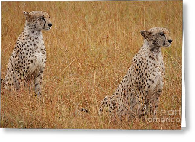 The Cheetahs Greeting Card by Nichola Denny