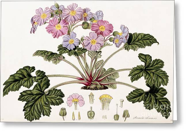 The Chinese Primrose Greeting Card by William Hooker
