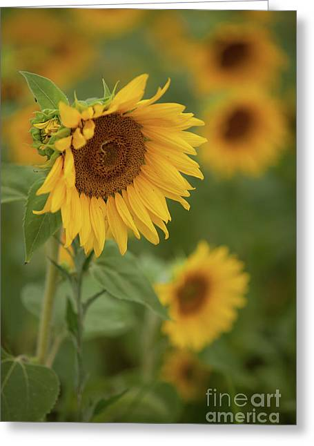 The Close Up Of Sunflowers Greeting Card